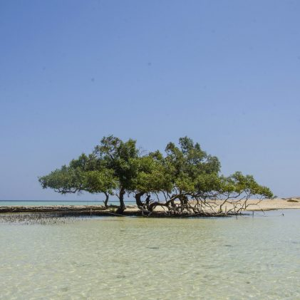 A huge mangrove tree on shores of Marsa Alam, Egypt